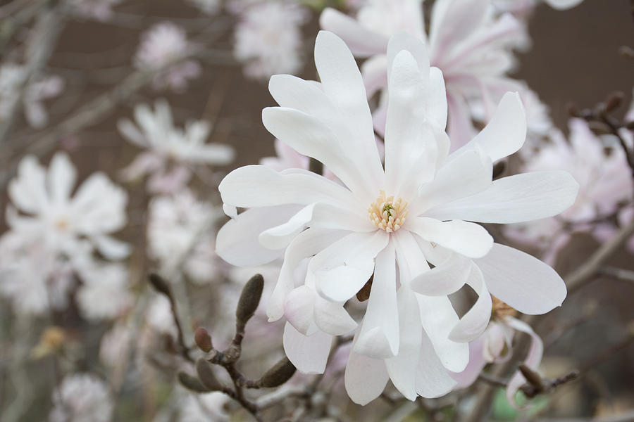 Flower Photograph - Star Magnolia Soft by Priyanka Ravi