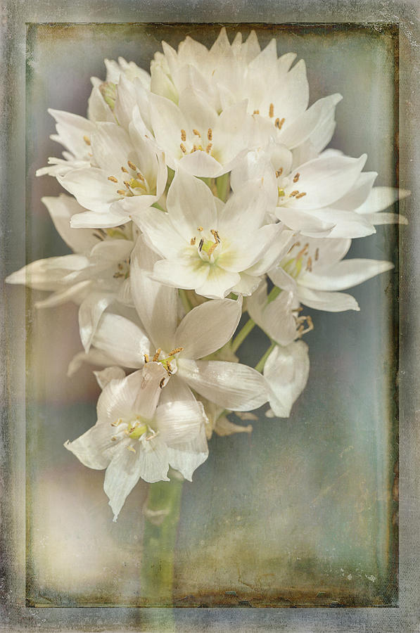 Star of Bethlehem by Carol Erikson