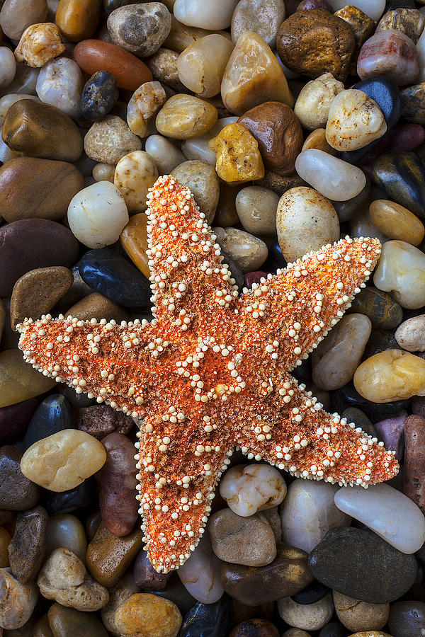 Starfish Photograph - Starfish On Rocks by Garry Gay