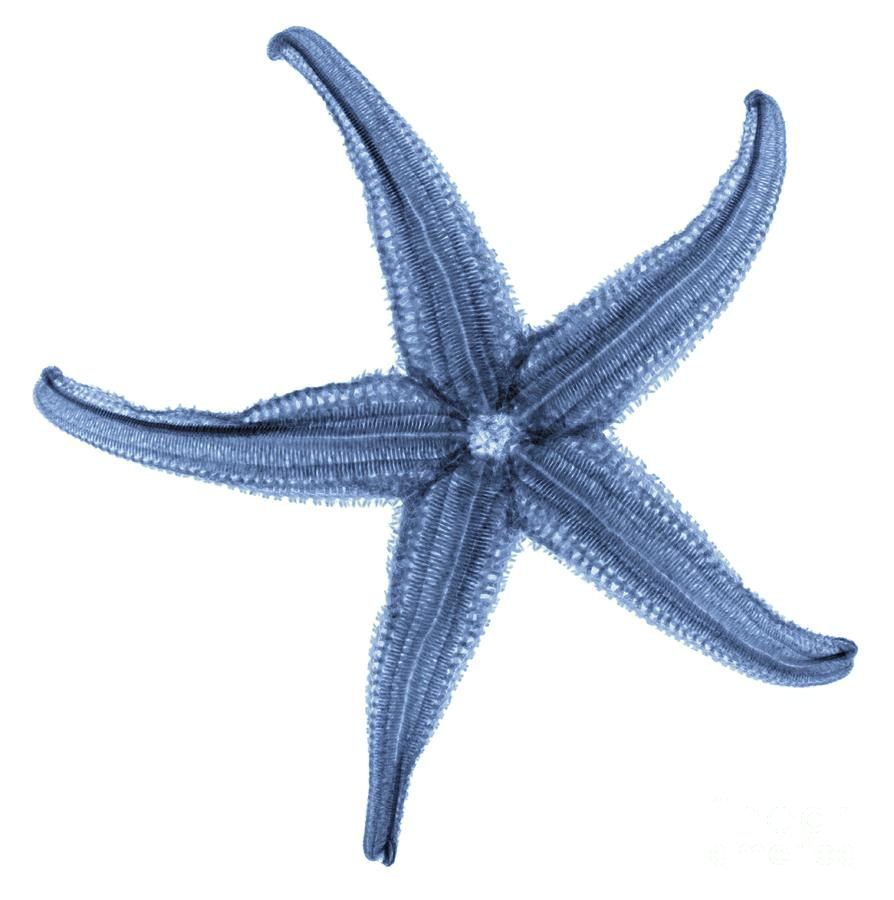 Animal Photograph - Starfish X-ray by Gustoimages