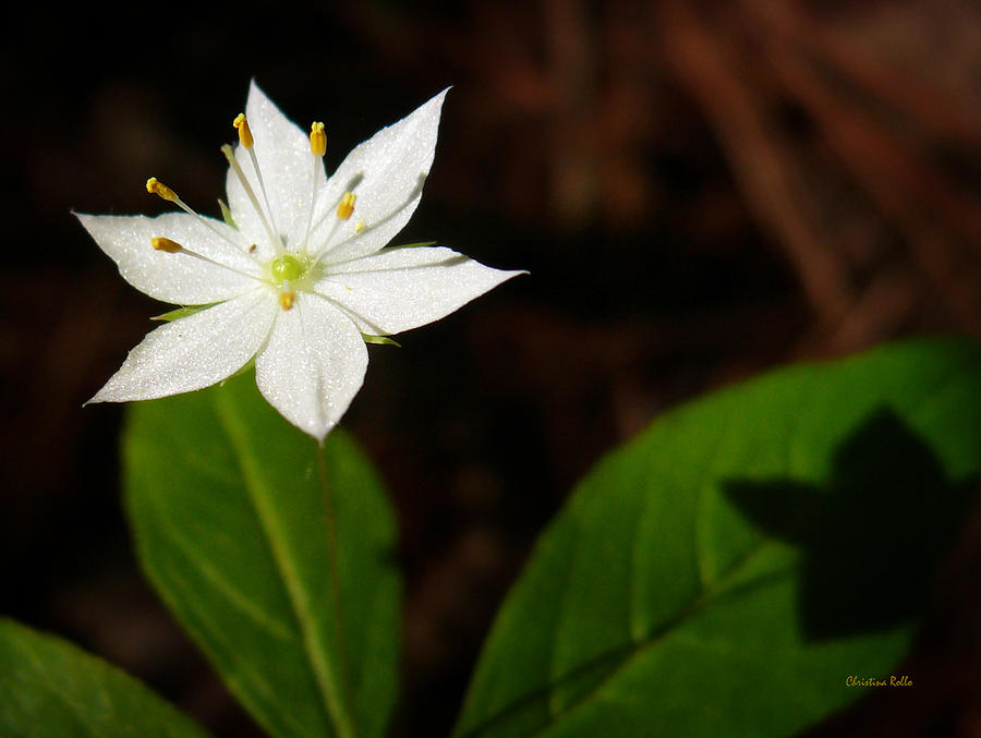 Starflower Photograph - Starflower by Christina Rollo