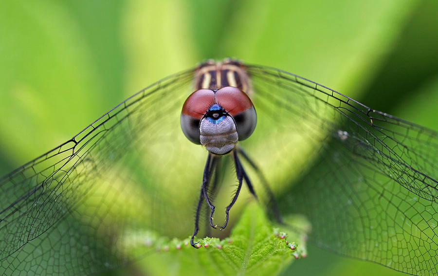 Dragonfly Photograph - Staring Contest by Juergen Roth