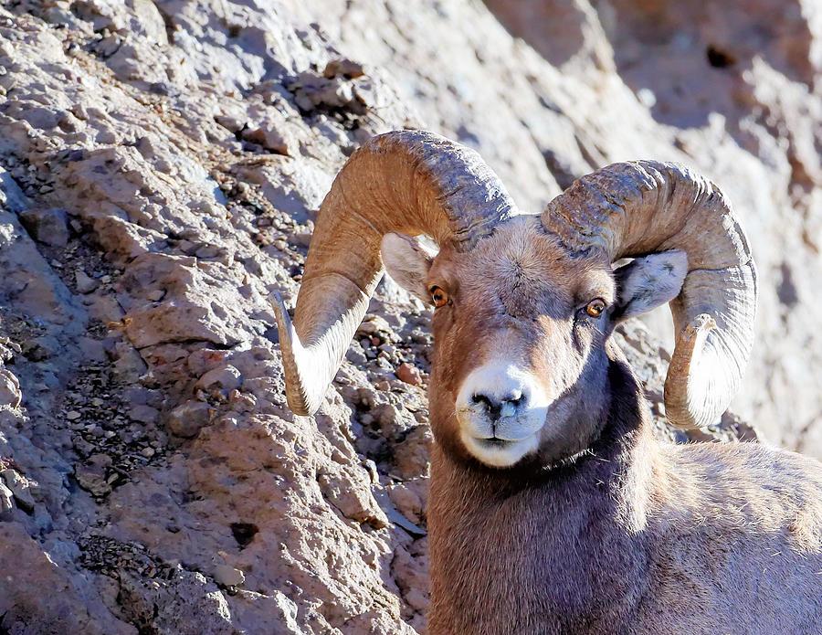 Big Horn Sheep Photograph - Staring by David  Treick