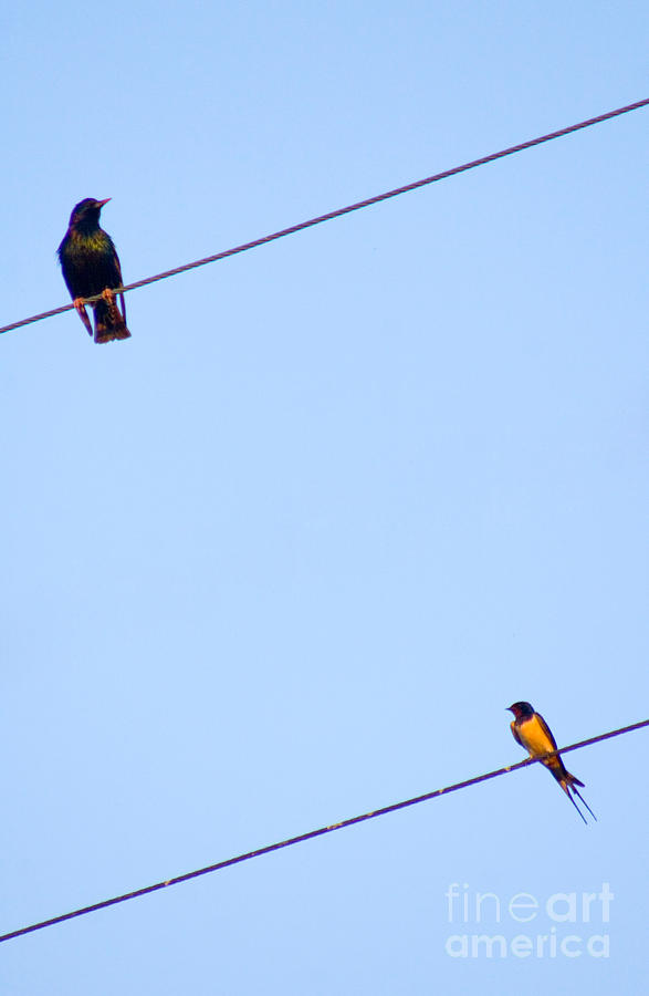 Bird Photograph - Starling And Swallow by Tim Holt