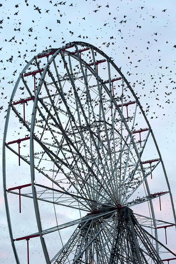 Sturnus Vulgaris Photograph - Starling Flock On Blackpool Ferris Wheel by Simon Booth