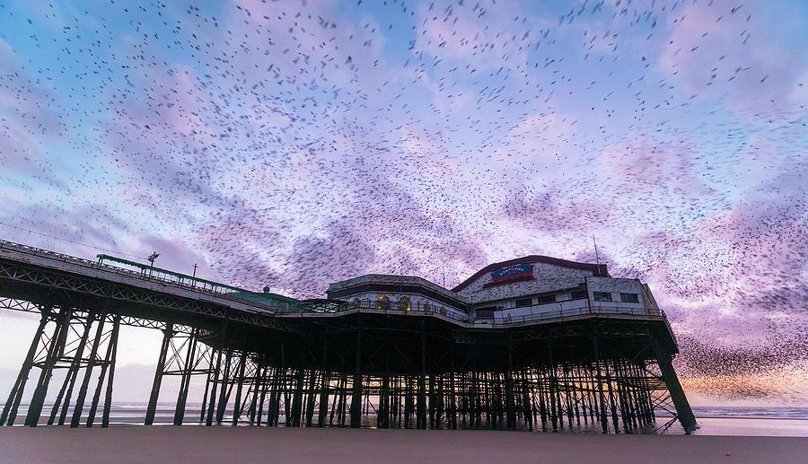 Sturnus Vulgaris Photograph - Starling Flock Over Blackpool North Pier by Simon Booth