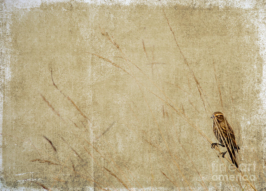 Photo Photograph - Starling In The Reeds by Rebecca Cozart