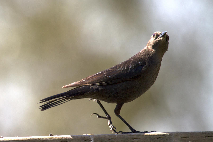 Birds Photograph - Starling Walking by Michael Riley