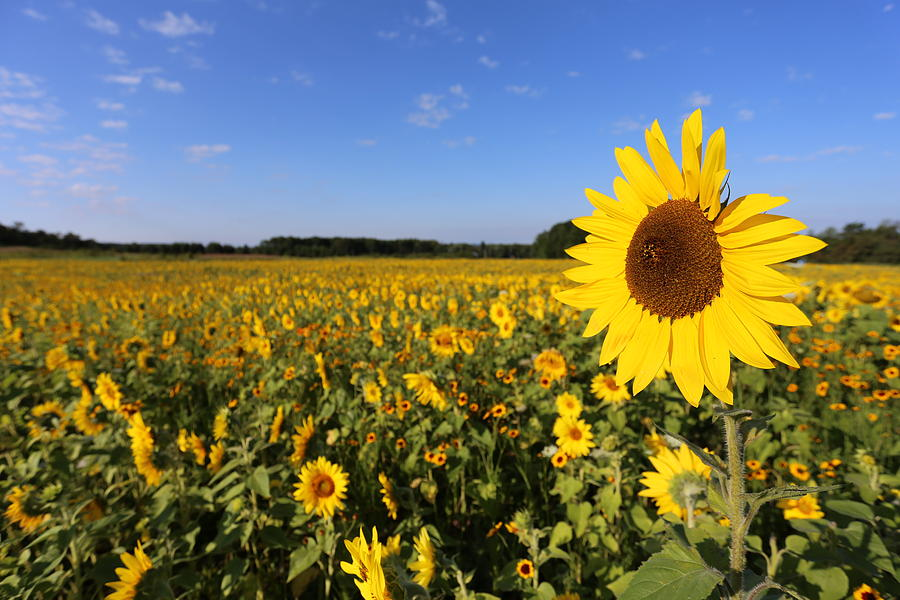 Sunflower Sun Flower Field field Of Flowers field Of Sunflowers Nature Landscape flight 93 Tribute Beautiful Memory let's Roll 09/11/01 9-11 Usa United united States America Photograph - State Game Lands 93 by Brenda Schwartz