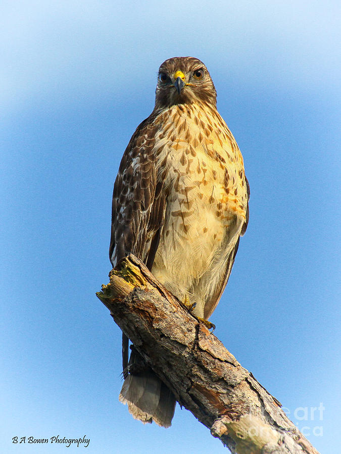 Red-shouldered Hawk Photograph - Stately Red-shouldered Hawk by Barbara Bowen