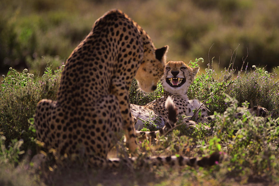 Cheetah Photograph - Stay Away by Mohammed Alnaser