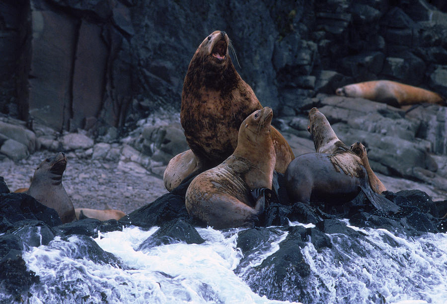 Color Image Photograph - Stellar Sea Lions On The Rocks by Dan Parrett
