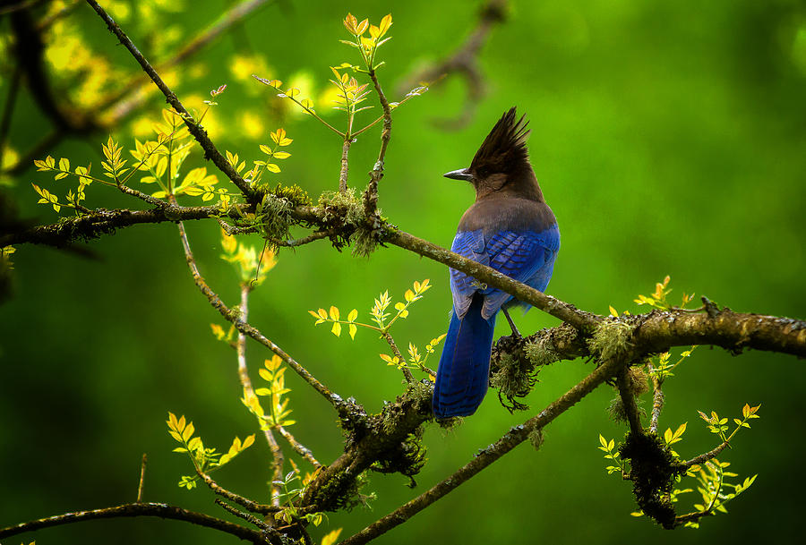 Blue Photograph - Steller Jay by Stuart Deacon