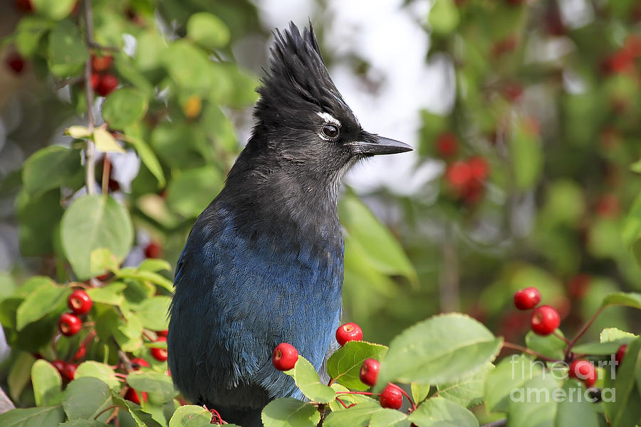 Bird Photograph - Stellers Jay And Red Berries by Teresa Zieba