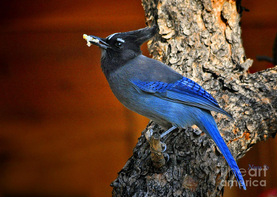 Bird Photograph - Stellers Jay In Colorado by Nava Thompson