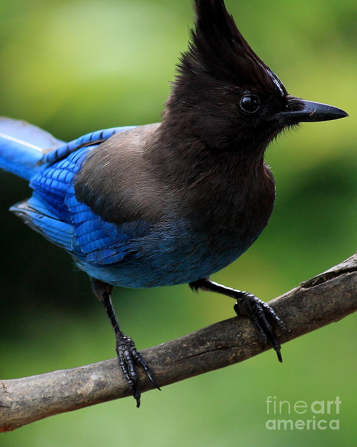 Bird Photograph - Stellers Jay by Wingsdomain Art and Photography