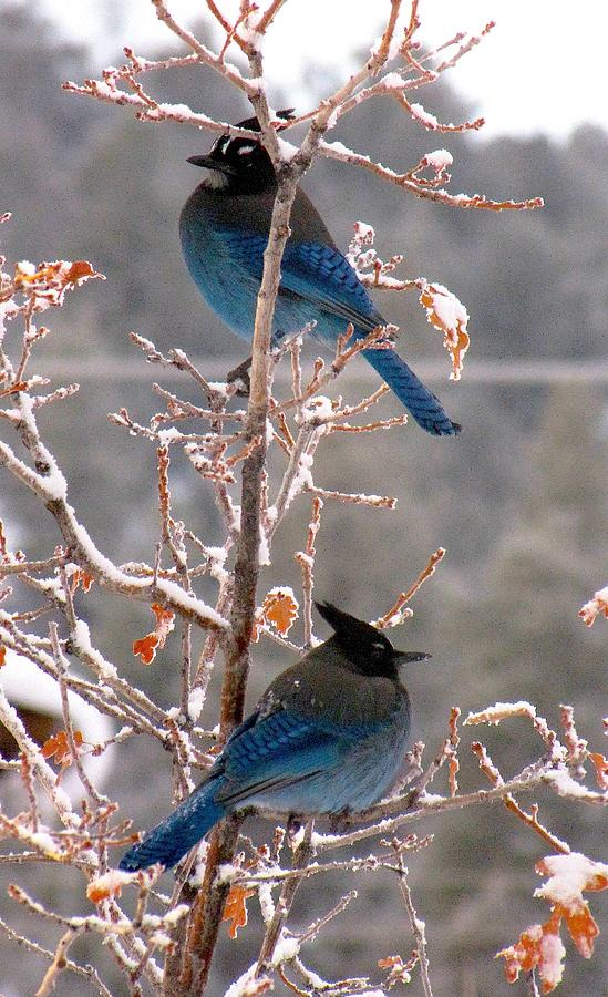 Birds Photograph - Stellers Jays by Feva  Fotos