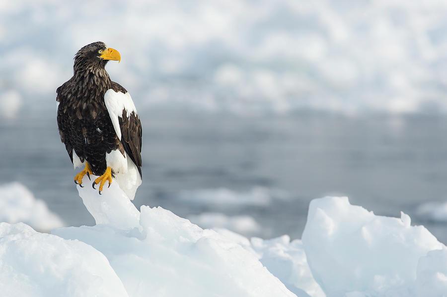 Stellers Sea Eagle Haliaeetus Photograph by Ben Cranke