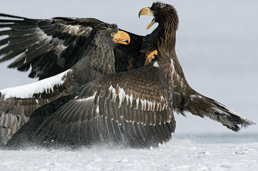 Stellers Sea Eagles Fighting Photograph by Sergey Gorshkov