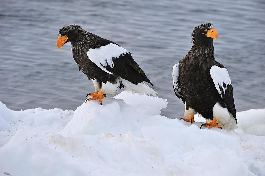 Stellers Sea Eagles On Ice Hokkaido Photograph by Thomas Marent