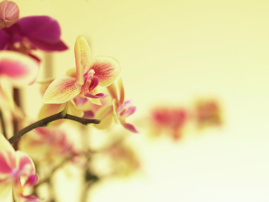 Stem Of Orchids Photograph by Jlph