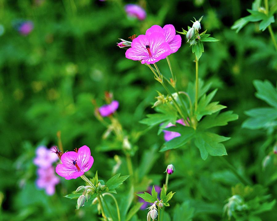 Image result for sticky geranium