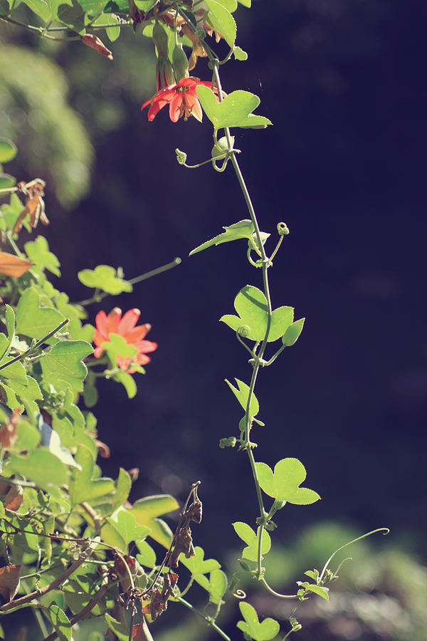 Vines Photograph - Still Holding On by Laurie Search