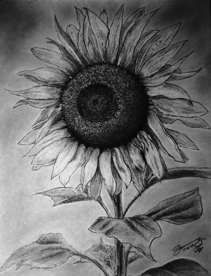 Still Life The Lone Sunflower Drawing
