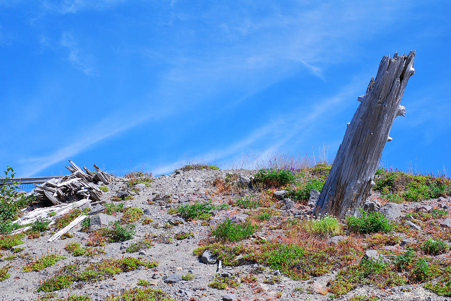 Hill Photograph - Still Standing. Near Mount St. Helens 2012 by Connie Fox