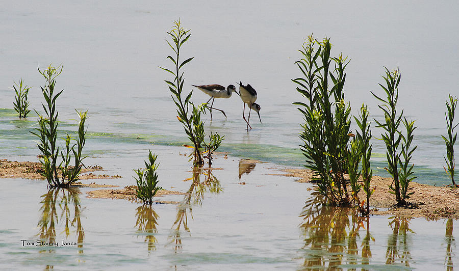 Stilts Hunting And Pecking Photograph by Tom Janca