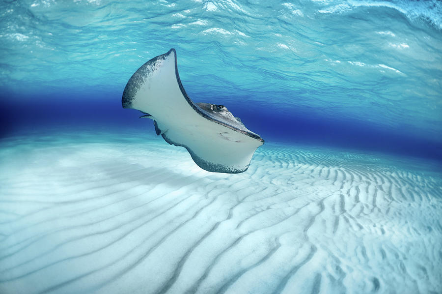 Stingray Photograph by Extreme-photographer