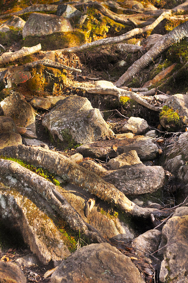 Rocks Photograph - Stones And Roots by Alex Wrenn