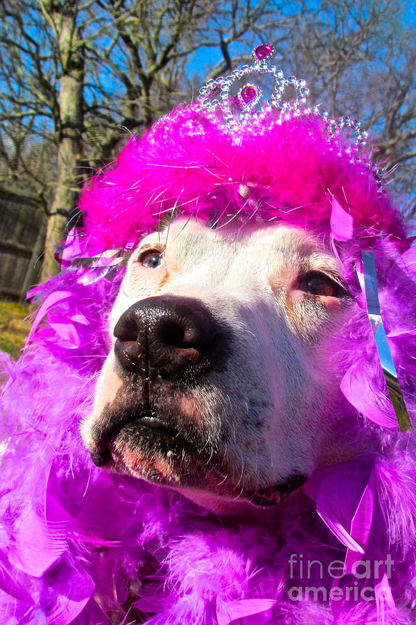 Pit Bulls Photograph - Stop Bsl Officer Do You Hate Me Because Im A Pit Bull Or Cause Im A Dude Wearing A Pink Tiara? by Qs House of Art ArtandFinePhotography