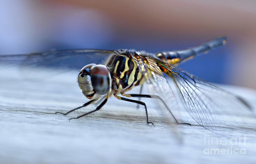 Tiger Dragonflies Photograph - Stop By Tiger Dragon Fly by Peggy Franz
