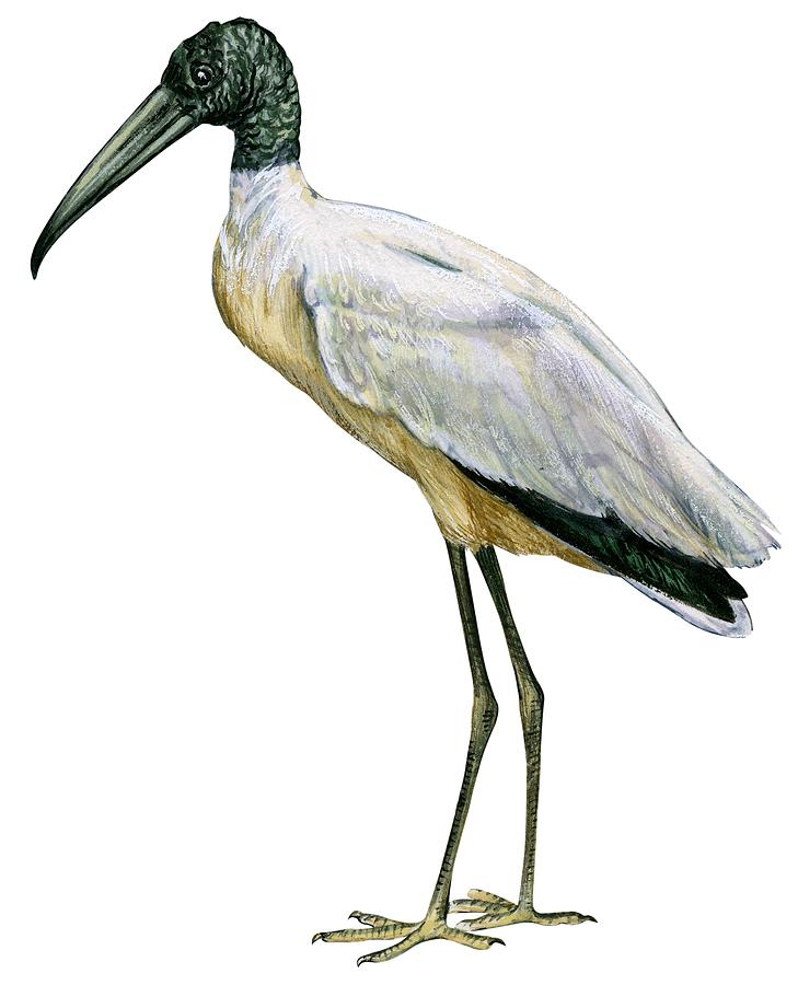 Stork Drawing by Anonymous