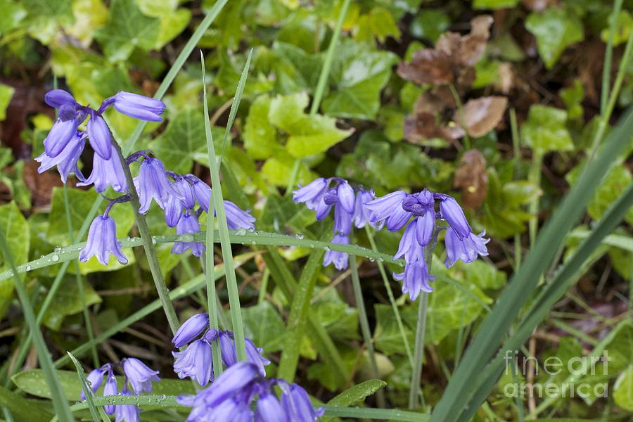 Stormy Wild Bluebell Photograph - Stormy Wild Bluebell  by Tim Rice