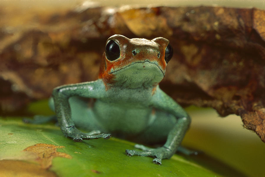 Strawberry Poison Dart Frog Portrait Photograph by Mark Moffett