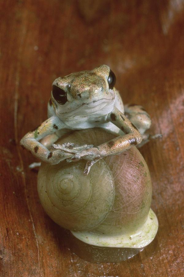 Strawberry Poison Dart Frog Resting Photograph by Mark Moffett