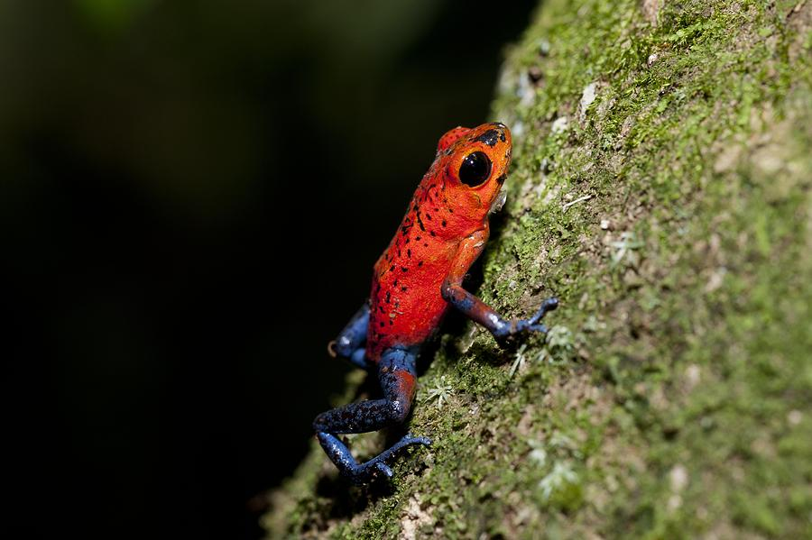 Strawberry Poison Frog Photograph - Strawberry Poison Frog by Science Photo Library