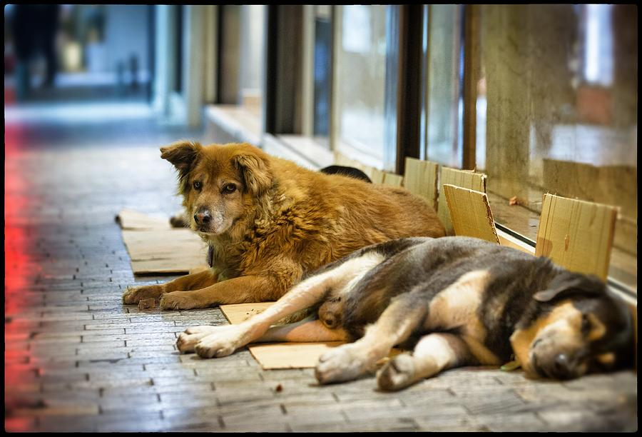 Street Dogs Of Athens Photograph by Matt Cardy