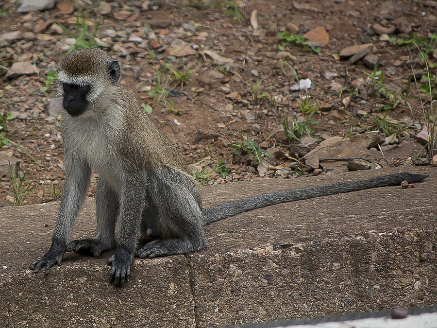 Rwanda Photograph - Street Monkey by Paul Weaver
