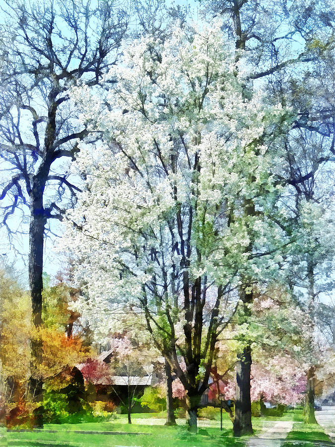Spring Photograph - Street With White Flowering Trees by Susan Savad