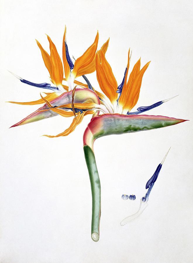 19th Century Photograph - Strelitzia Reginae Flowers by Natural History Museum, London