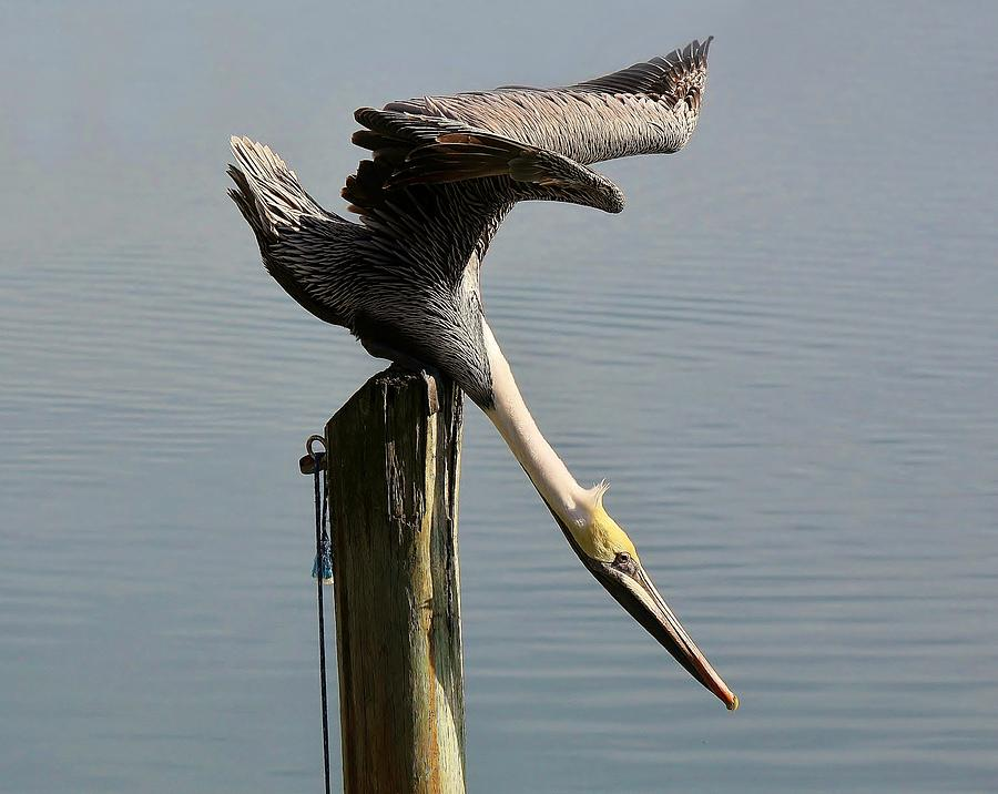 Pelican Photograph - Stretch by Paulette Thomas
