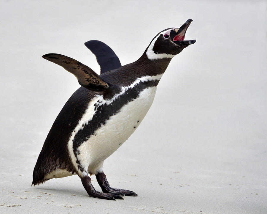 Magellanic Penguin Photograph - Stretch by Tony Beck