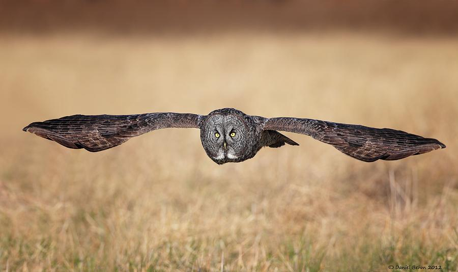 Great Gray Owl Photograph - Stretched Out by Daniel Behm