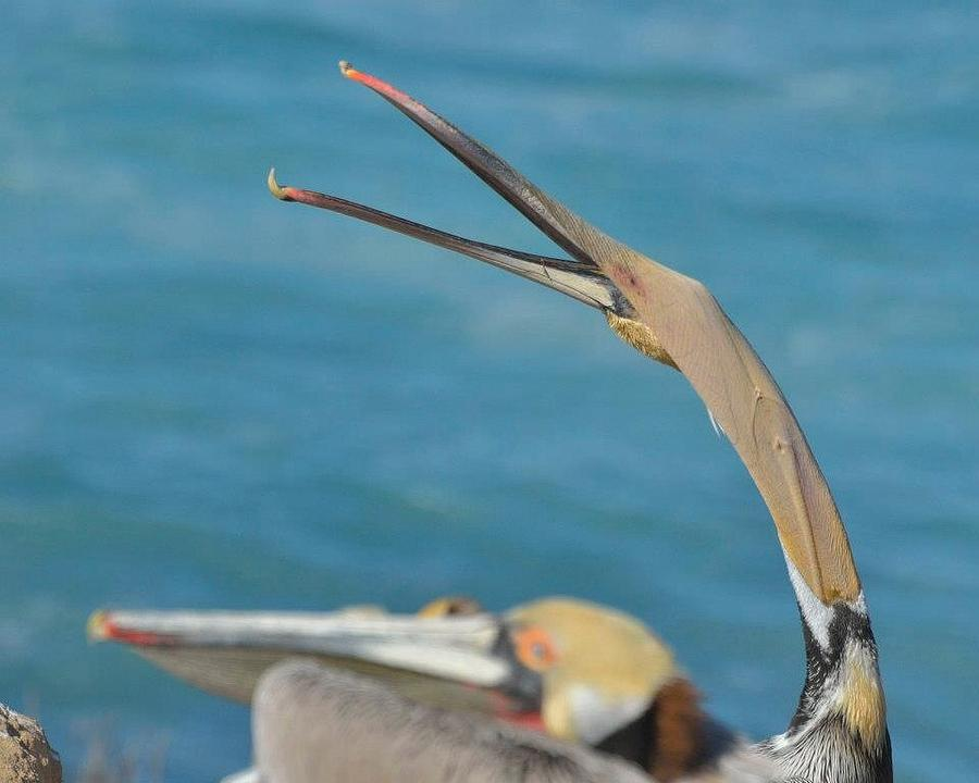 Pelican Photograph - Stretching by Old Pueblo Photography