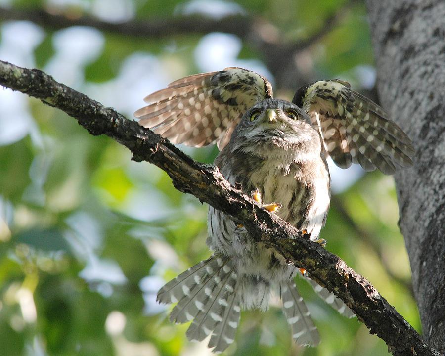 Stretching Owl by Jan Piet