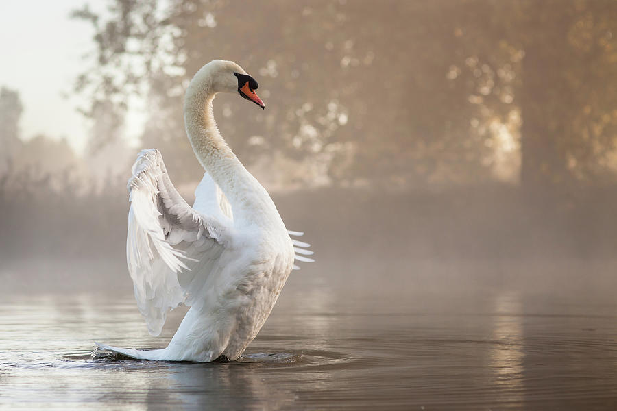 Stretching Swan Photograph by Kevin Day