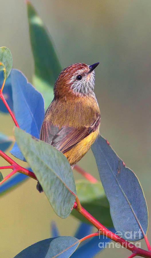 Striated Thornbill Photograph by Bill  Robinson